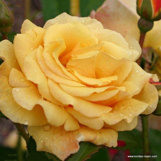 Ruža kríková Postillion, Kordes, kont. 2L