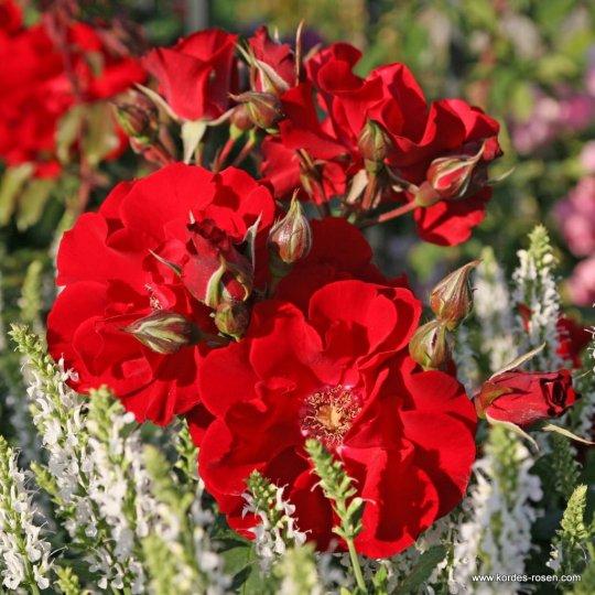 Ruža kríková Apache ® Kordes, kont. 2L