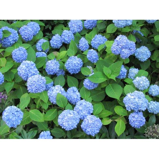 Hortenzia veľkolistá 'NIKKO BLUE', 30-40cm, kont. 3l