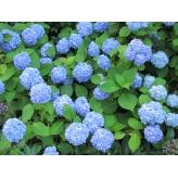 Hortenzia veľkolistá 'NIKKO BLUE, 20-30cm, kont. 1,4L