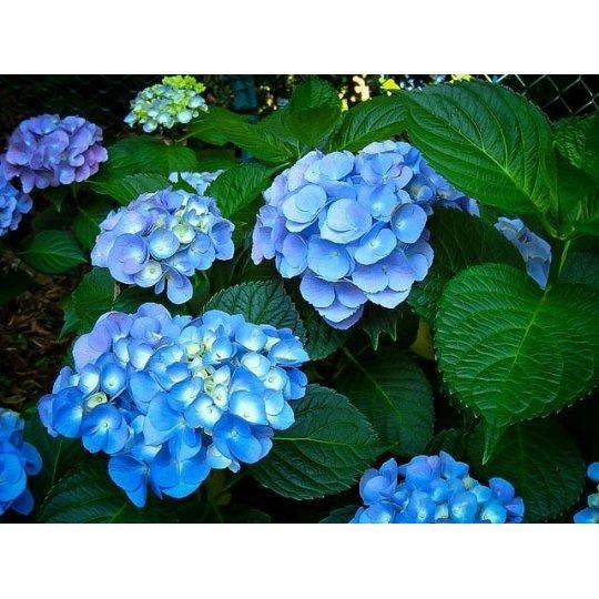 Hortenzia veľkolistá 'Nikko Blue', 10-20cm, kont. 1,4L