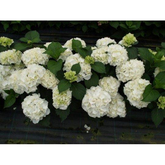 Hortenzia veľkolistá ´Schneeball´, 10-20cm, kont.1,4L