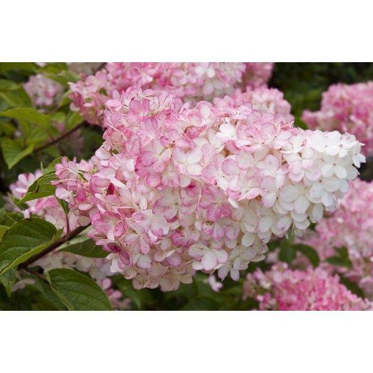 Hortenzia metlinatá Vanille Fraise®, 30-40cm, Kong. 1,4L