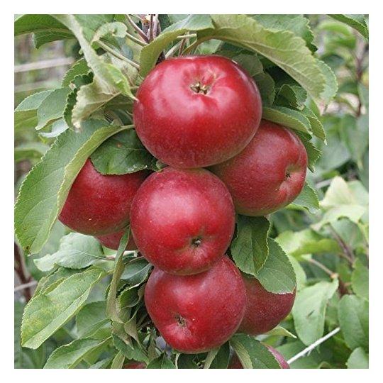 Jabloň stĺpovitá  POMPINK GINOVER®, jesenná, 50cm, podp. MM111