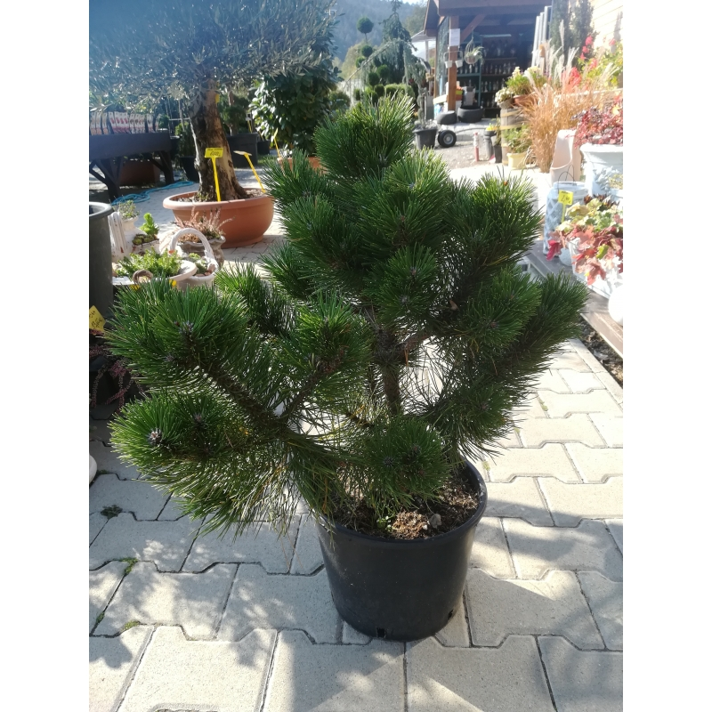 Borovica čierna, Pinus ´Nigra Nana´ kont.15-18l