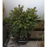 Smrek obyčajný´Little Gem´, Picea abies´Little Gem´, kont.2l