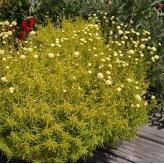 Santolina rosmarinifolia 'Lemon Fizz', 10cm, kontajner 1,5l
