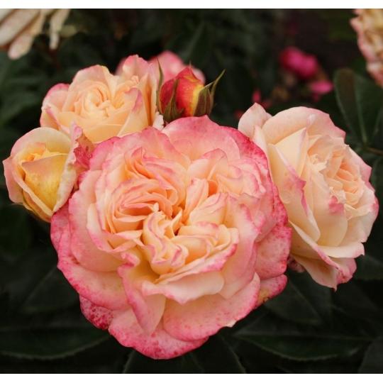 CONCORDE ruža veľkokvetá, KORDES, kont.2l