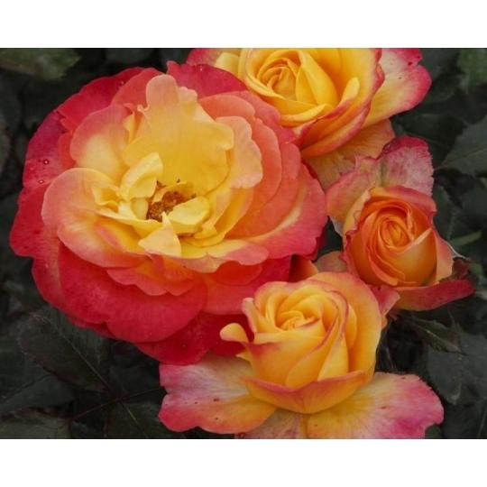 FLAMING STAR, ruža veľkokvetá, kont. 2l