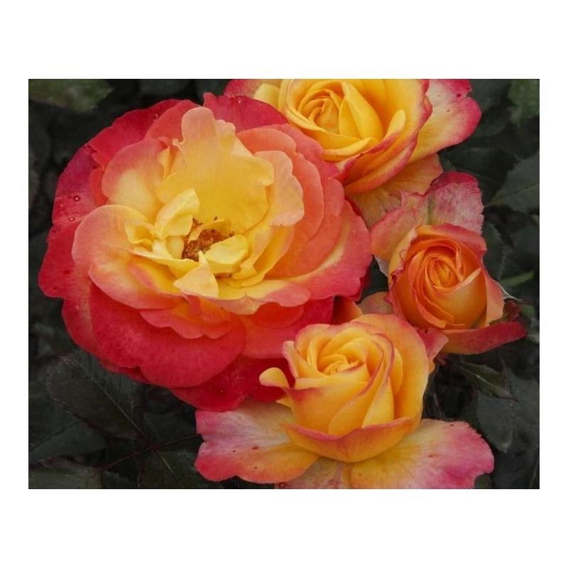 Flaming Star - ruža veľkokvetá KORDES, kont. 2l