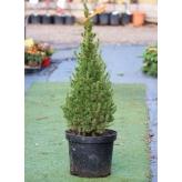 Smrek biely - Picea glauca ´CONICA´, kont. 10l