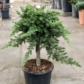 Borievka pobrežná ´Blue Pacific´, Juniperus conferta ´Blue Pacific´, kont.10l, na kmienku