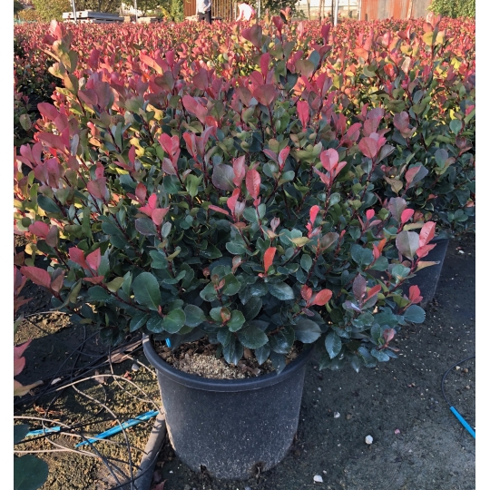 Červienka malá, Photinia fraseri ´Little Red Robin´, kont. 18l