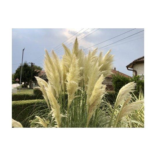 Pampová tráva, Cortaderia sellona ´ROSEA´, kontajn. 3L