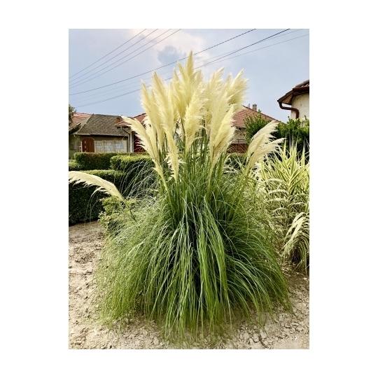 Pampová tráva - biela, kontajn. 3L