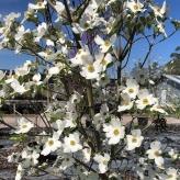 Drieň kvetnatý, Cornus florida ´RAINBOW´, kvetináč 7l