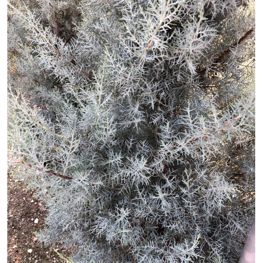 Cupressus sempervirens 'Totem',cyprus vždyzelený kont.10l