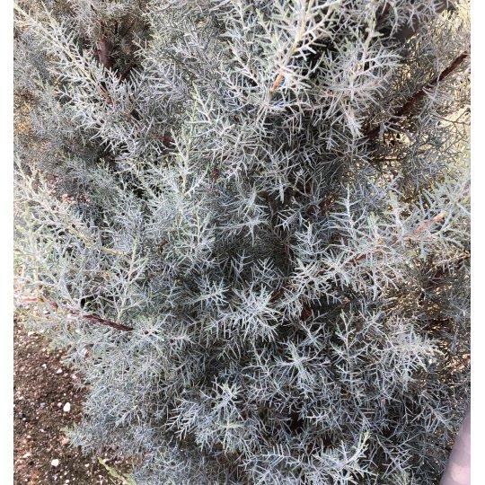 Cyprus arizonský , Cupressus arizonica 'FASTIGIATA´, NA KMIENKU, kont.35l