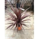 Kordylína , Dracaena indivisa ´RED STAR´, 30-40cm, kvetináč 5l