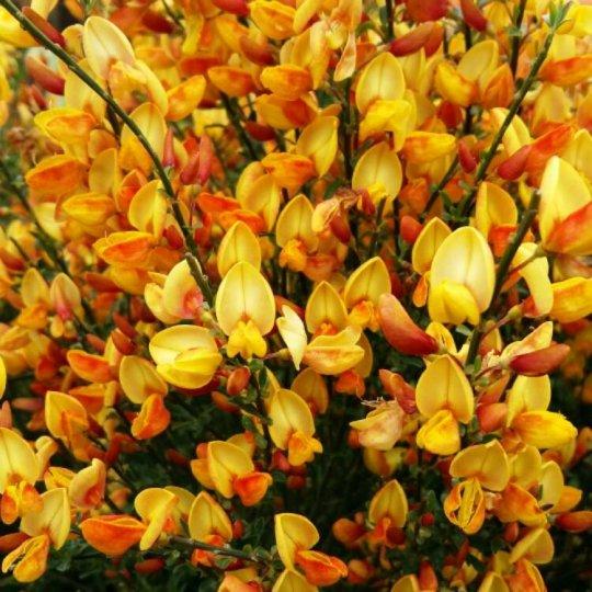 Zanoväť oranžová, Cytisus 'Apricot Gem', kont. C13