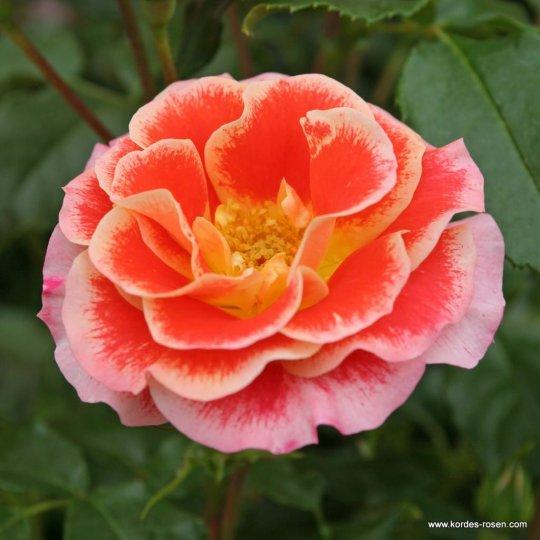 Ruža Airbrush ®, KORDES, floribunda, kont. 2l