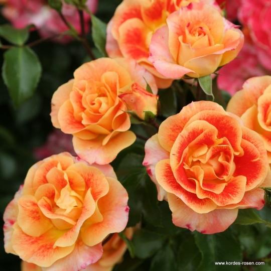 Ruža mnohokvetá AIRBRUSH®, KORDES, kont. 2l