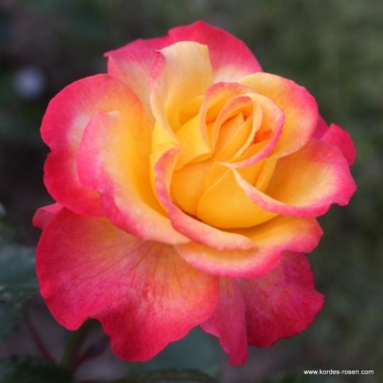 Ruža  veľkokvetá 'FLAMING STAR', kont. 2l