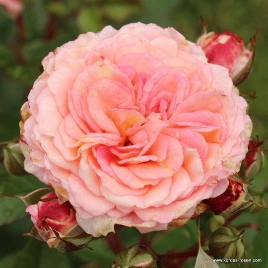 AMARETTO, ruža mnohokvetá, kont. 2L