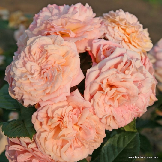 Ruža 'AMARETTO' KORDES, floribunda, kont. 2L