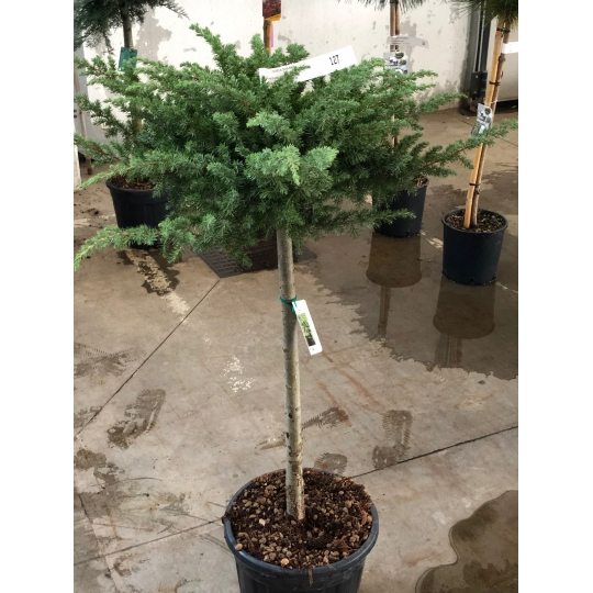 Borievka pobrežná, Juniperus conferta ´Schlager´, kont. 18l