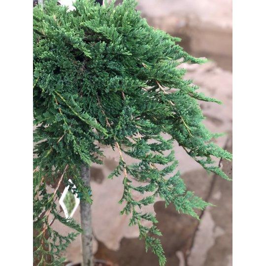 Borievka rozprestretá ´, juniperus horizontalis ´Prince of Wales´, NA KMIENKU, kont. 18l