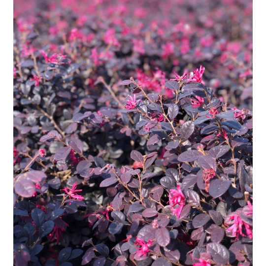 Loropetalum chinense ´RED TUSCANY´, kont. 10l