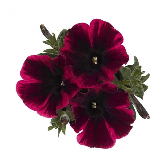Petúnia ´POPCORN´ , Petunia x hybrida ´POPCORN´, K9