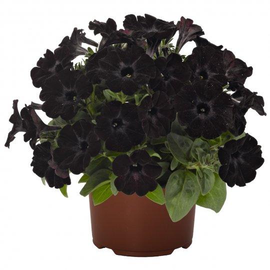Petúnia Sweetunia 'BLACK SATIN'
