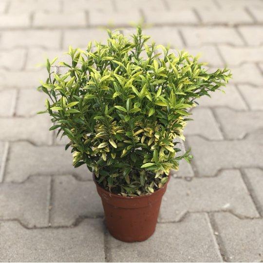 Bršlen japonský drobnolistý, Euonymus japonicus ´Pulchelus Aureovariegatus´, kont. 2l