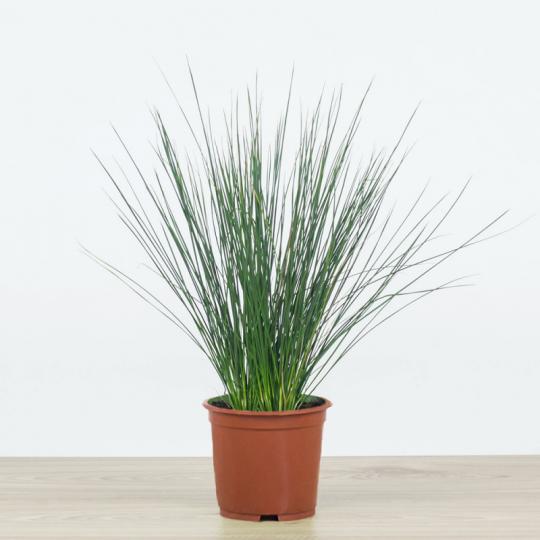 Sítina rozložitá 'PENCIL GRASS', kont. 0,5 l