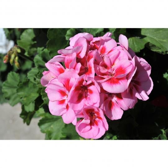Muškát ružový-cyklamen  'PINK MEGA SPLASH'