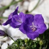 Zvonček karpatský ´PEARL DEEP BLUE', kont. 0,5l