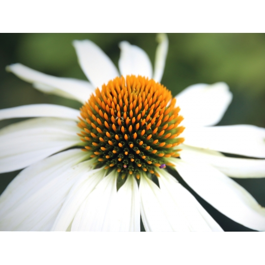 Echinacea purpurová (Echinacea purpurea WHITE SWAN), kont. K9