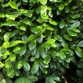 Vavrínovec lekársky ´Novita´, Prunus laurocerasus ´Novita´, kont. 10l