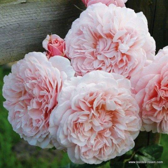 Ruža ťahavá ´TOLBIAC´, Kordes, kont. 2l