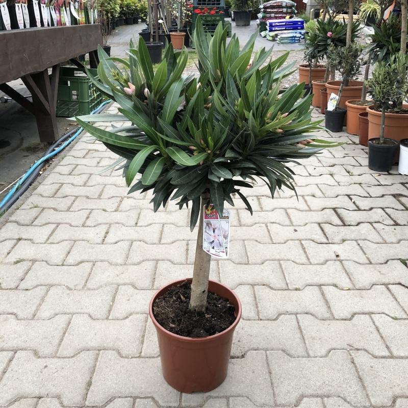 Oleander obecný, Oleander nerium, kont. 3l na kmienku