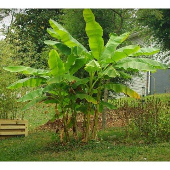 Mrazuvzdorný banánovník 'MUSA BASJOO', 40-50cm, kont. 2l