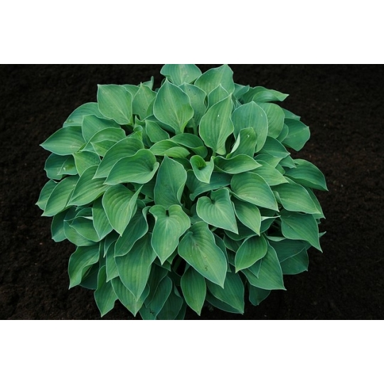 Hosta 'BLUE BELLE', kont. 1,5l