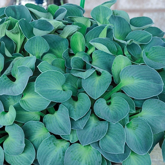 Hosta 'BLUE MOUSE EARS', kont. 1l