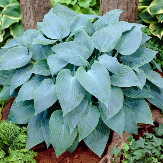 Hosta 'CANADIAN BLUE', kont. 1,5l