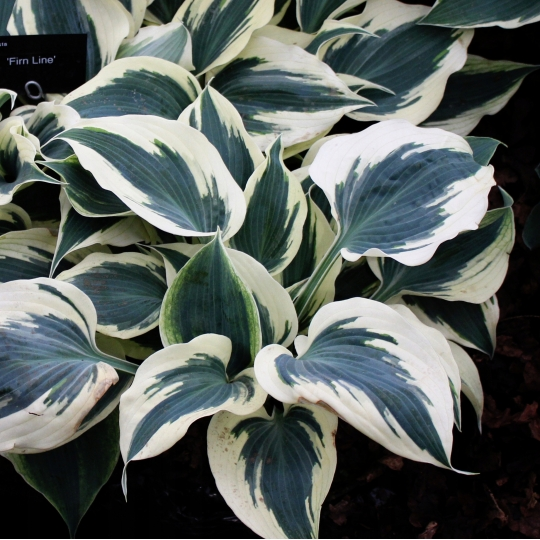 Hosta 'FIRM LINE', knot. 1l