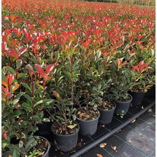 Červienka malá, Photinia fraseri ´Little Red Robin´, kont. 3l