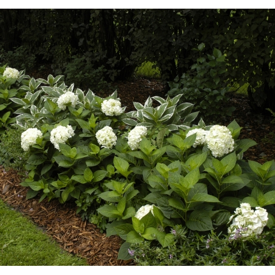 Hortenzia veľkolistá, Hydrangea macrophylla Endless Summer ´THE BRIDE´, kont. 10l