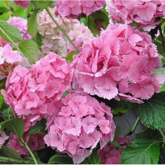 Hortenzia veľkolistá DOLCE® Farfalle 'Dolfarf', kont. 10l